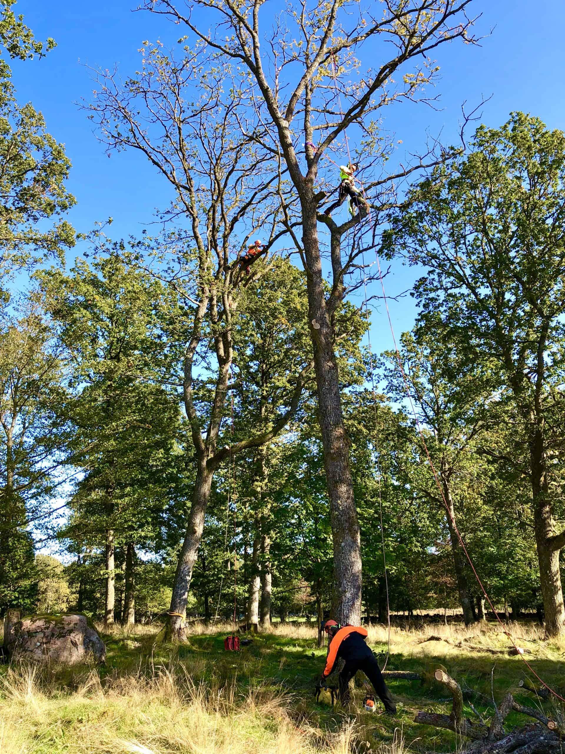 Beskärning av träd i Halland - Halmstad Falkenberg Varberg