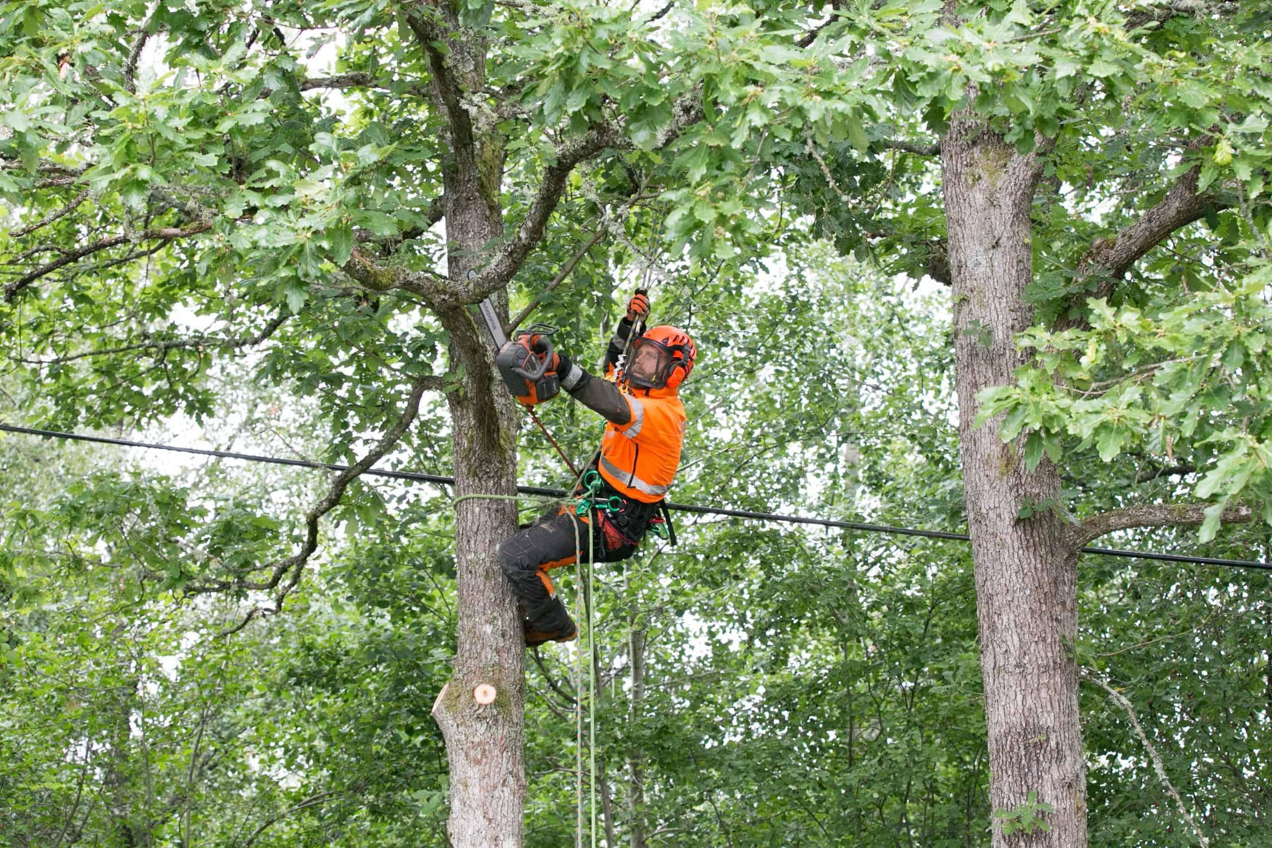 Trädfällning i Halland