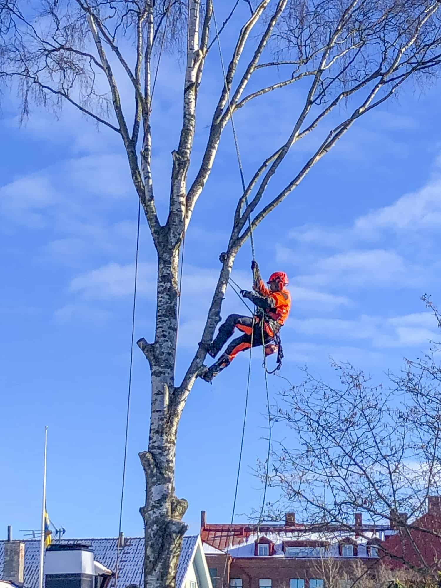 Trädfällning i Falkenberg
