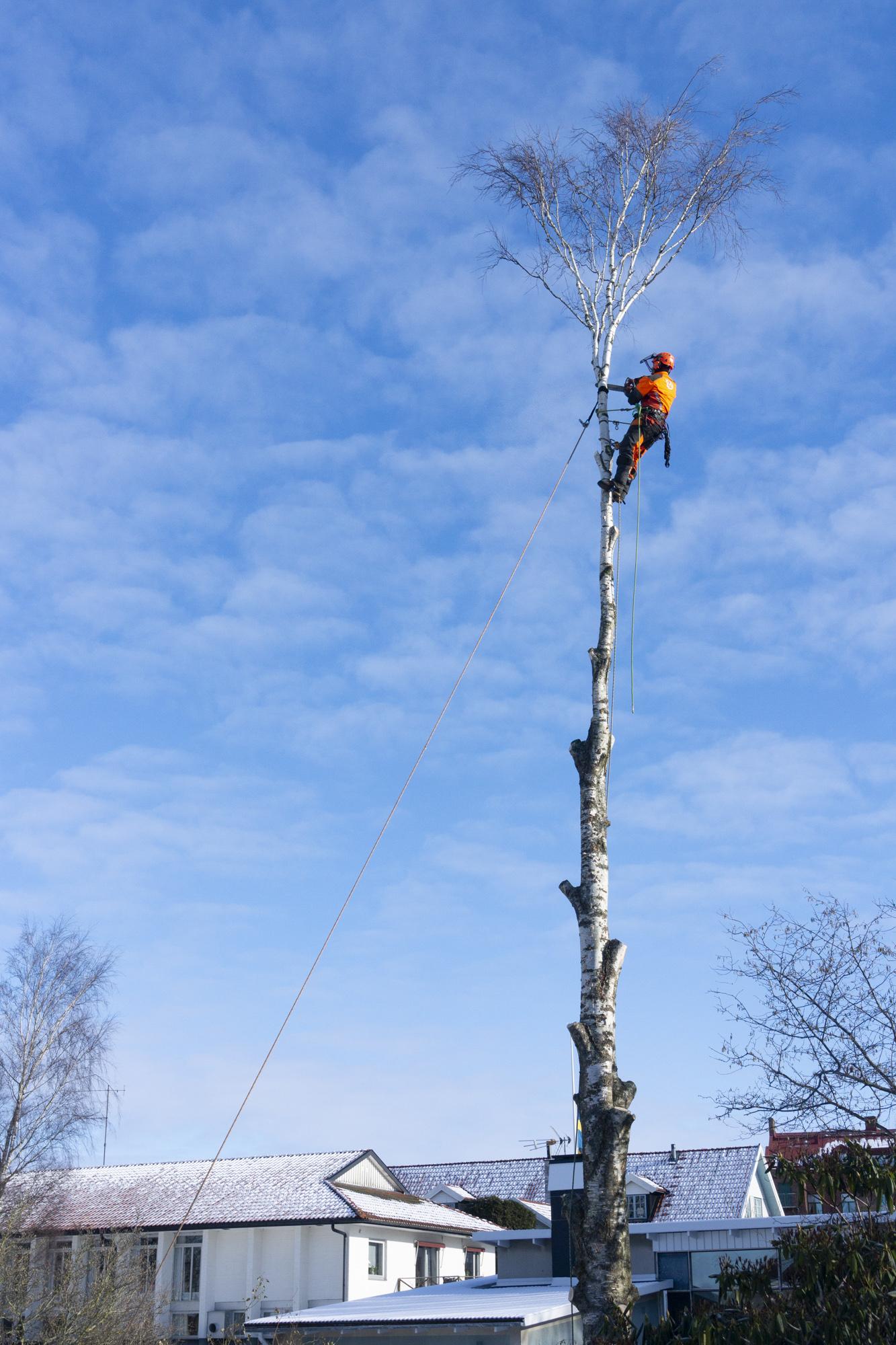 Trädfällning i Varberg