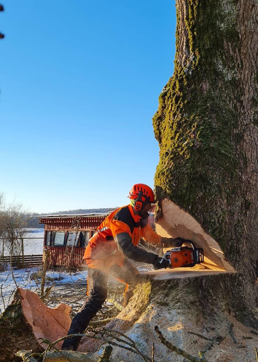 Trädfällning i mellbystrand