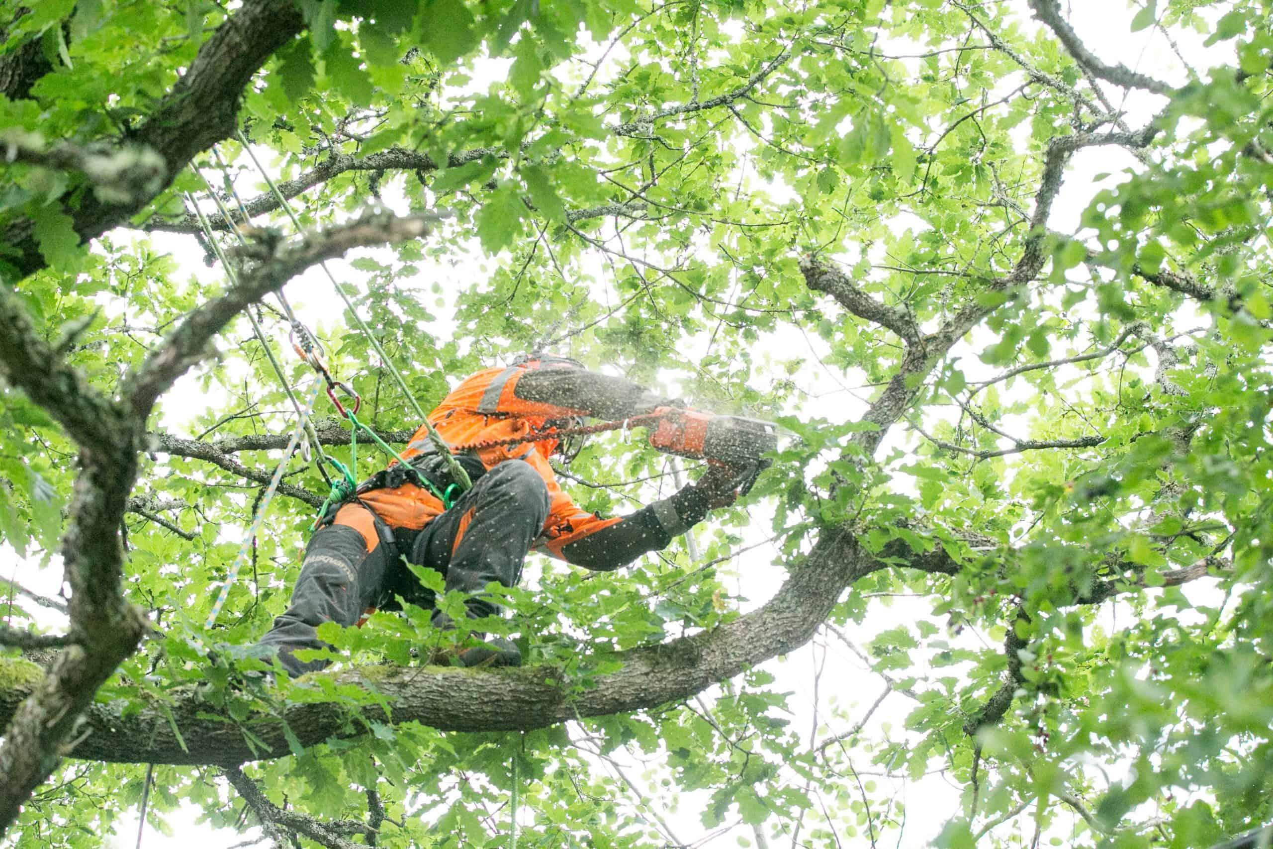Trädfällning i Halmstad